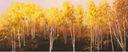 AspensPoplarsorBirch?24x60